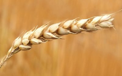 Does Gluten Cause Selenium Deficiency